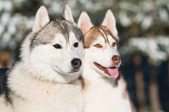 Pair of siberian husky at winter Royalty Free Stock Photography