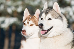 Pair of siberian husky at winter Stock Image