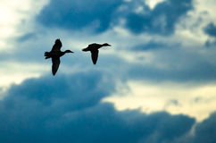 Pair of Silhouetted Ducks Flying in the Dark Evening Sky. Two Silhouetted Ducks Flying in the Dark Evening Sky Royalty Free Stock Image