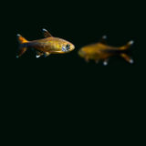Pair Silver Tipped Tetra fishes on black background. gold, orange colorful aquarium fish. Shallow depth of field. soft Royalty Free Stock Image