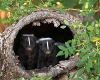 Two skunks in a tree trunk. A pair of skunks peeking out of a hollow tree trunk in the forest Stock Image