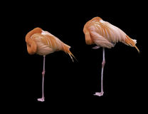 Pair of sleeping Flamingos on one leg. Illustration format of a landscape photograph of two standing Flamingos both sleeping . Background has been changed to a Stock Images