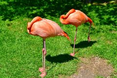 A pair of sleeping flamingos royalty free stock images
