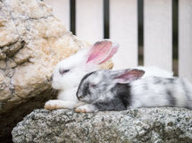 Pair of sleeping rabbits Royalty Free Stock Photography