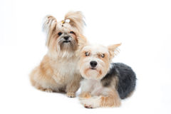 Pair small dogs isolated on white background Stock Photography