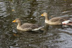 A pair of ducks swimming in the pond and wildlife sanctuary in Ward park in Bangor County down in Northern Ireland. A pair of small ducks swimming in the pond Stock Photography