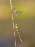 Pair of Small emerald spreadwing dragonfly. Small emerald spreadwing dragonfly (Lestes virens) pair mating in tandem position Stock Photo