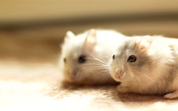 A pair of small Hamster Jungar Royalty Free Stock Image