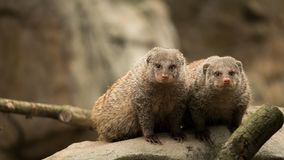 A pair of mammals royalty free stock images