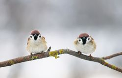 Pair of small plump funny baby bird Sparrow sitting on a branc. A pair of small plump funny baby bird Sparrow sitting on a branch in the garden and looking royalty free stock images