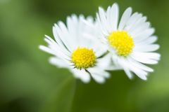 Pair of small white field flowers Bellis perennis. Daisy flowers. Pair of small white field flower Bellis perennis. Daisy flowers on blurred background Royalty Free Stock Photo