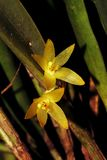 Pair of small yellow orchid flower. Wonderful close up of small orchid flower. Macro lens. Close up Stock Images