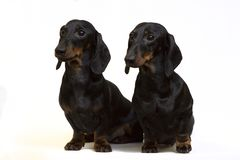 A pair of smooth-coated dachshunds sit isolated on white stock images