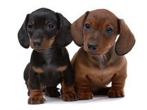 Pair of Smooth-haired Dachshunds. On white Stock Image