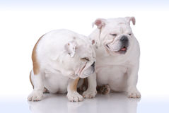 Pair of Smooth-haired English Bulldog Stock Image