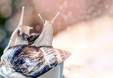 Pair of snails Achatina on dark background with bokeh. Easy photo tinting, with blurred front background.