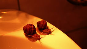 A pair of snails on the edge of the bathroom sink. Snails race. stock video footage