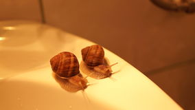 A pair of snails on the edge of the bathroom sink. Snails race. stock video