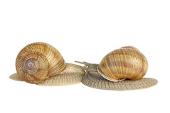 Pair of  snails kissing each other Royalty Free Stock Photography