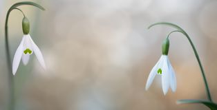 Pair of snow drops winter white wild flower stock photos
