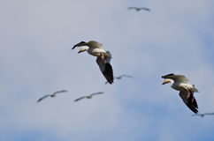 Pair of Snow Geese Coming In For a Landing Stock Photography
