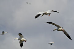Pair of Snow Geese Coming In For a Landing Stock Image