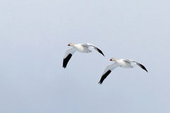 Pair of snow geese in flight royalty free stock photography