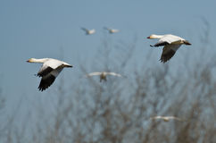 Pair of Snow Geese Flying Across the Marsh Royalty Free Stock Photography