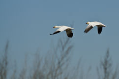 Pair of Snow Geese Flying Across the Marsh Royalty Free Stock Photos