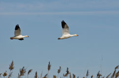 Pair of Snow Geese Flying Across the Marsh Royalty Free Stock Photo