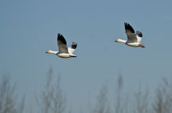 Pair of Snow Geese Flying Across the Marsh Stock Photos