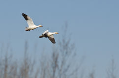 Pair of Snow Geese Flying Across the Marsh Stock Images