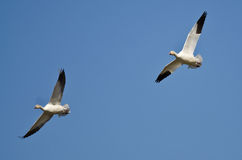 Pair of Snow Geese Flying in a Blue Sky Stock Photos