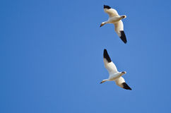 Pair of Snow Geese Flying in a Blue Sky Royalty Free Stock Photos