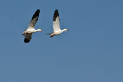 Pair of Snow Geese Flying in a Blue Sky Stock Photography
