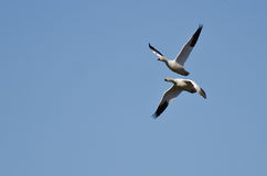 Pair of Snow Geese Flying in a Blue Sky Stock Image