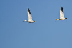 Pair of Snow Geese Flying in a Blue Sky Royalty Free Stock Photography