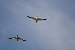 Pair of Snow Geese Flying in a Cloudy Sky Stock Photography
