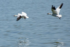 Pair of Snow Geese. Flying over water at Klamath Falls Wildlife Refuge stock photo