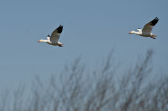 Pair of Snow Geese Landing in the Marsh Royalty Free Stock Photos