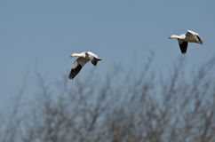 Pair of Snow Geese Landing in the Marsh Royalty Free Stock Photo