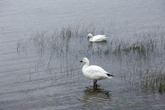 Pair of snow geese in shallow water on the shore of the St. Lawrence River royalty free stock photos