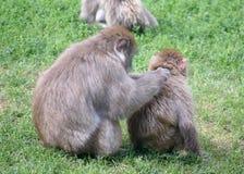 Pair of Snow Monkeys Grooming Royalty Free Stock Images