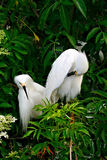 Pair of Snowy Egrets Stock Photography