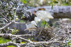 Pair Of Snowy Egrets Attending To Their Nest. A pair of Snowy egrets building, attending to their nest stock photography