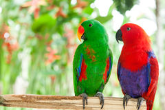 Pair of Solomon Island Eclectus Parrots Royalty Free Stock Image