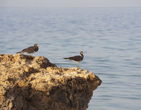 Pair of Sooty gulls on rocks Royalty Free Stock Images