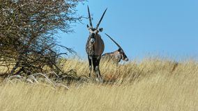Pair of South African oryx or gemsbok royalty free stock image