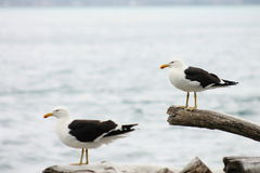 Pair of Southern black-backed gull Royalty Free Stock Photos