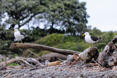 Pair of Southern black-backed gull Royalty Free Stock Photography